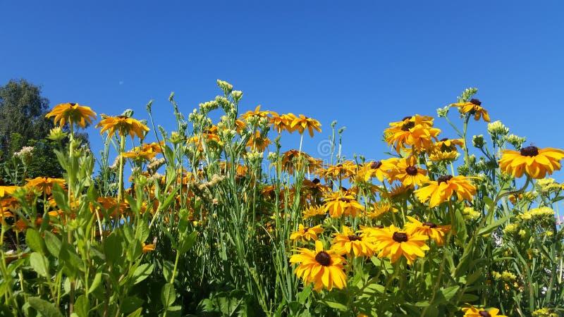 Girasol mexicano floreciente y cielo azul claro imágenes de archivo libres de regalías