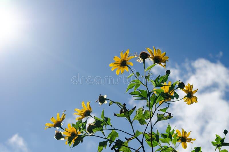 Girasol mexicano o Tung Bua Tong con el cielo azul y la luz del sol fotografía de archivo libre de regalías