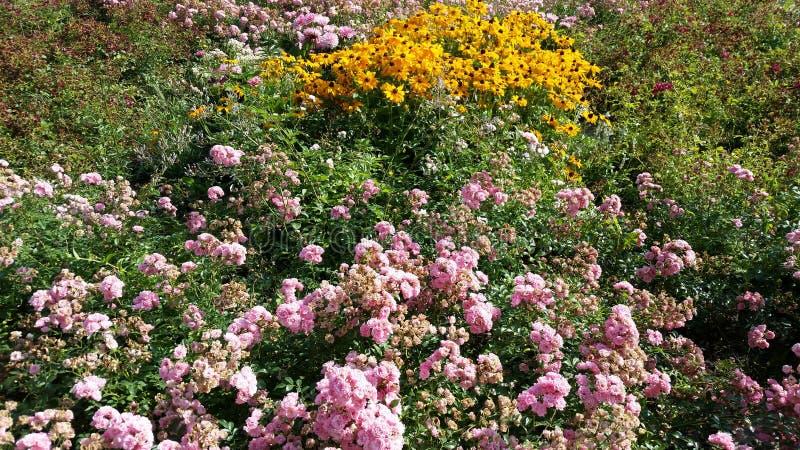 Girasol mexicano y rosas de florecimiento imagen de archivo