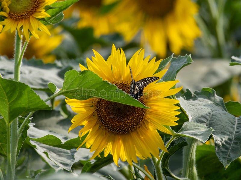 Girasol que florece en los campos del verano fotos de archivo libres de regalías