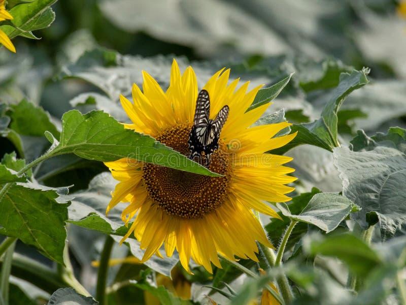 Girasol que florece en los campos del verano fotografía de archivo