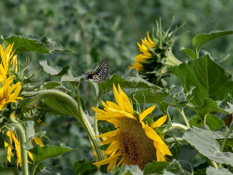 Girasol que florece en los campos del verano imágenes de archivo libres de regalías