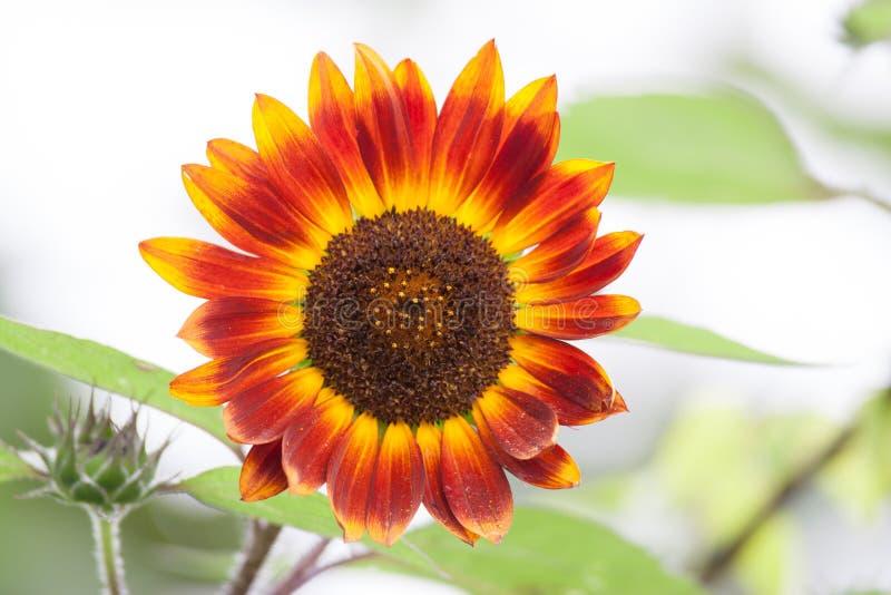 Download Girasol rojo foto de archivo. Imagen de hoja, polen, amarillo - 64206914