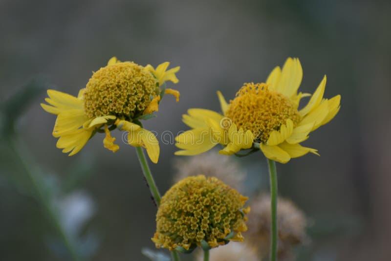 Girasol salvaje amarillo fotos de archivo
