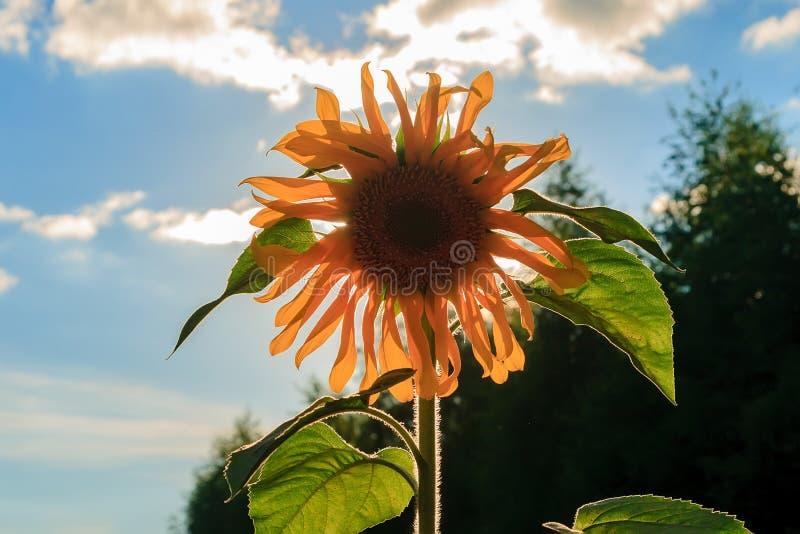 Girasol salvaje amarillo solo iluminado por el sol foto de archivo