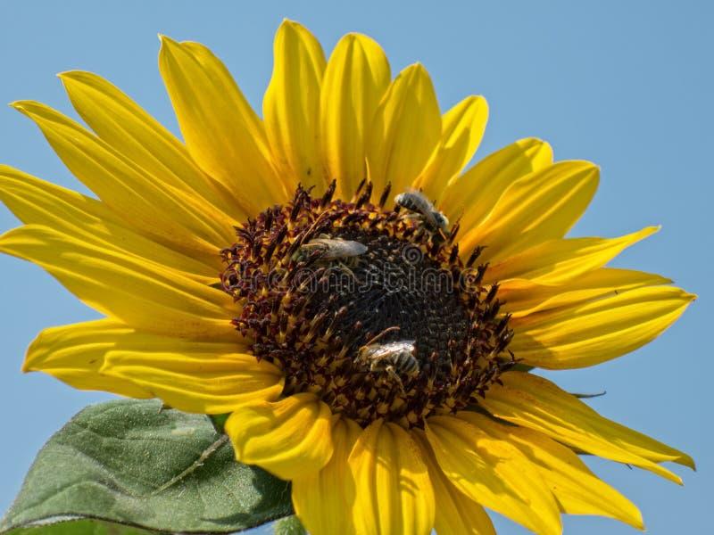Girasol y abejas fotos de archivo libres de regalías