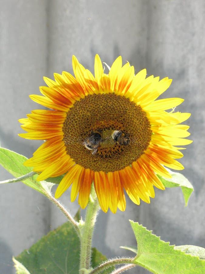 Girasol y abejorros imagenes de archivo