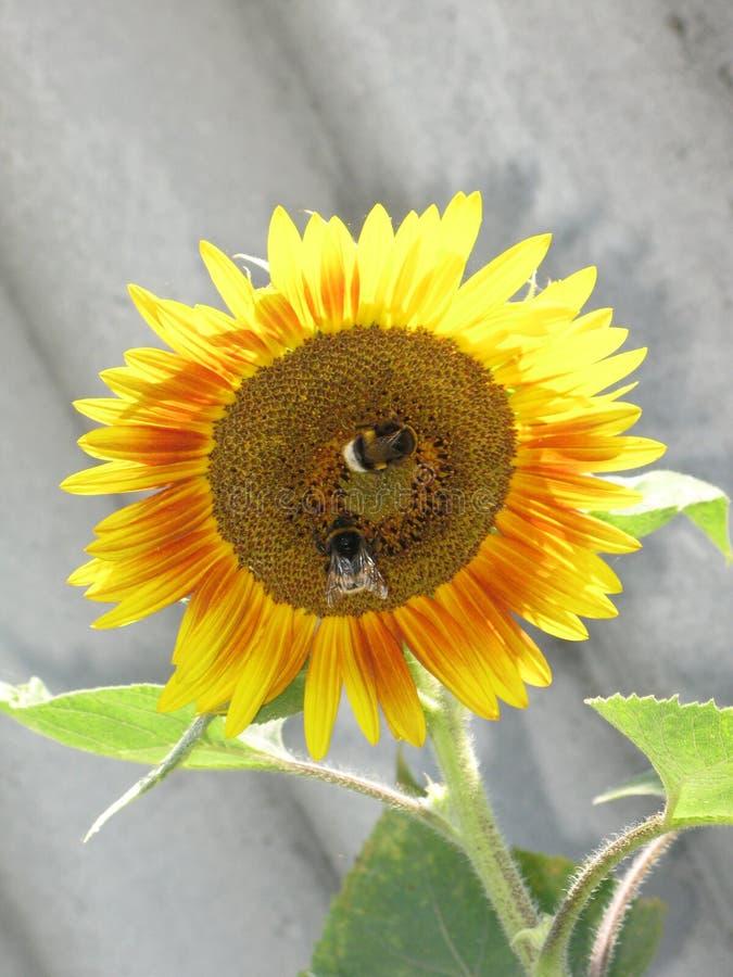 Girasol y abejorros fotografía de archivo libre de regalías
