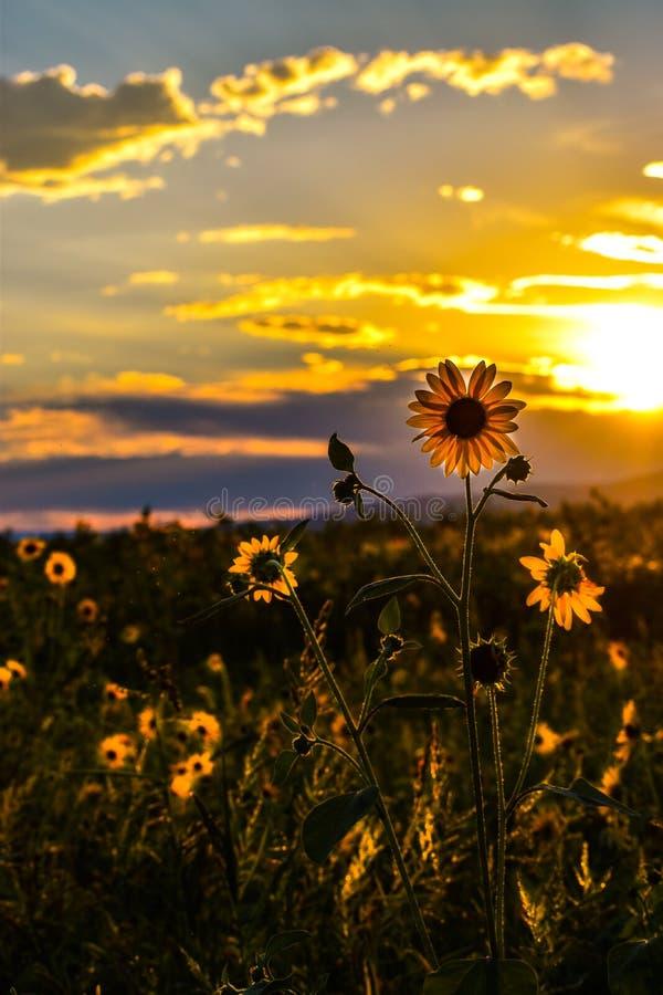 Girasol y puesta del sol imagen de archivo
