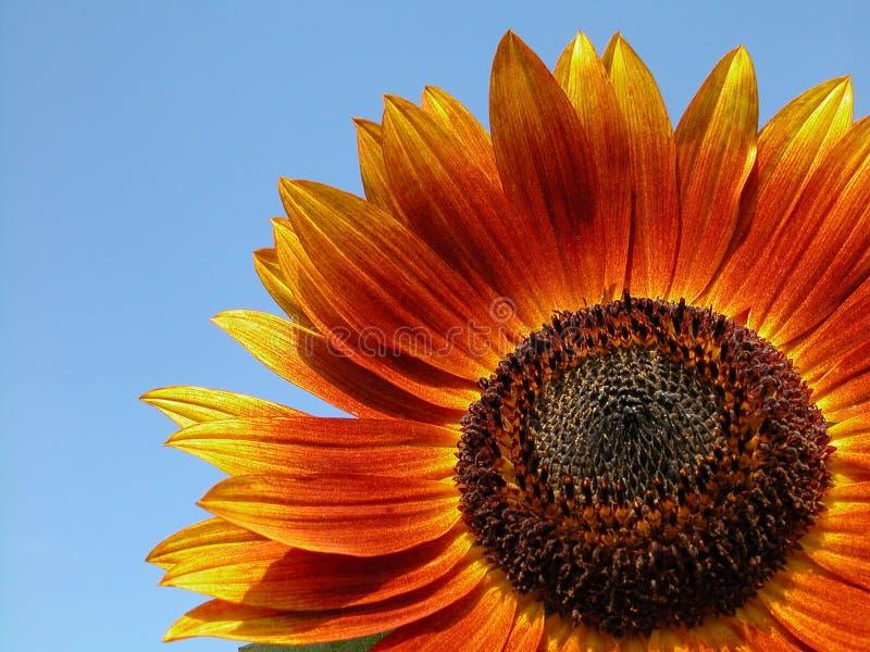 Download Girasole immagine stock. Immagine di sole, giardinaggio - 212303