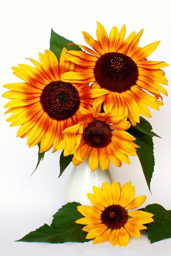 Download Girasole fotografia stock. Immagine di crop, floreale - 3145092