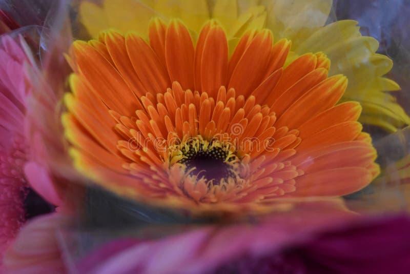 Girasole arancio a forma di immagini stock
