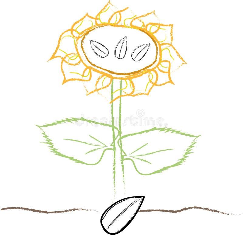 Girasole coltivato dal seme royalty illustrazione gratis