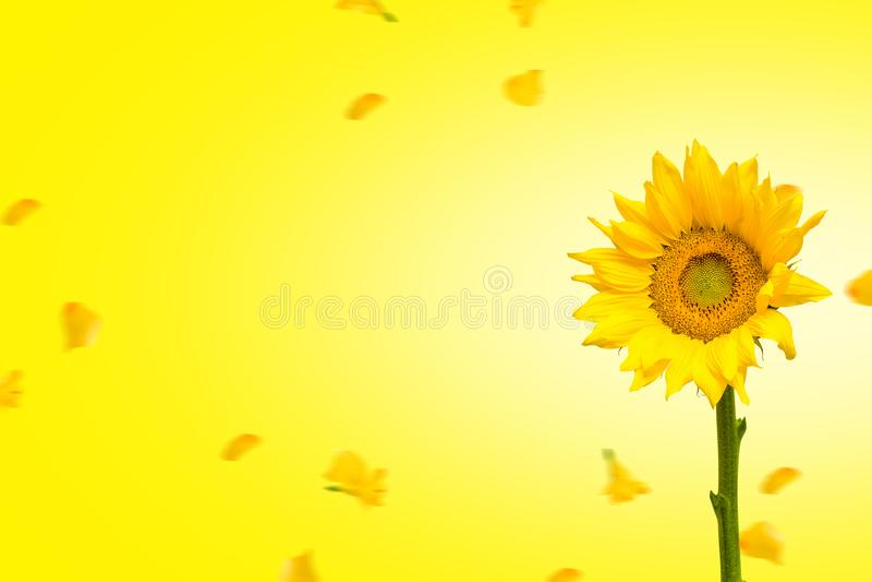 Girasole con i fiori di caduta su fondo giallo royalty illustrazione gratis