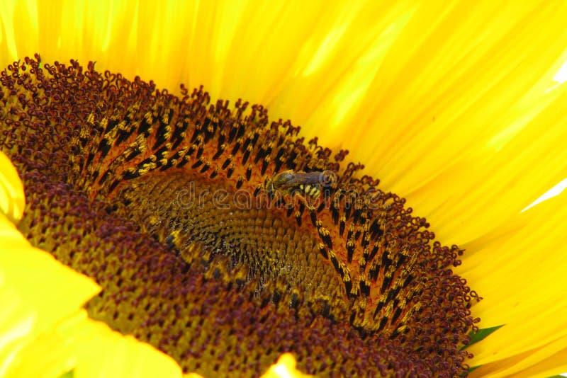 Girasole con la vespa fotografia stock libera da diritti