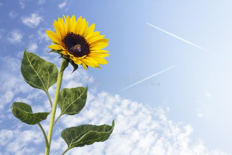 Girasole contro il cielo blu fotografia stock
