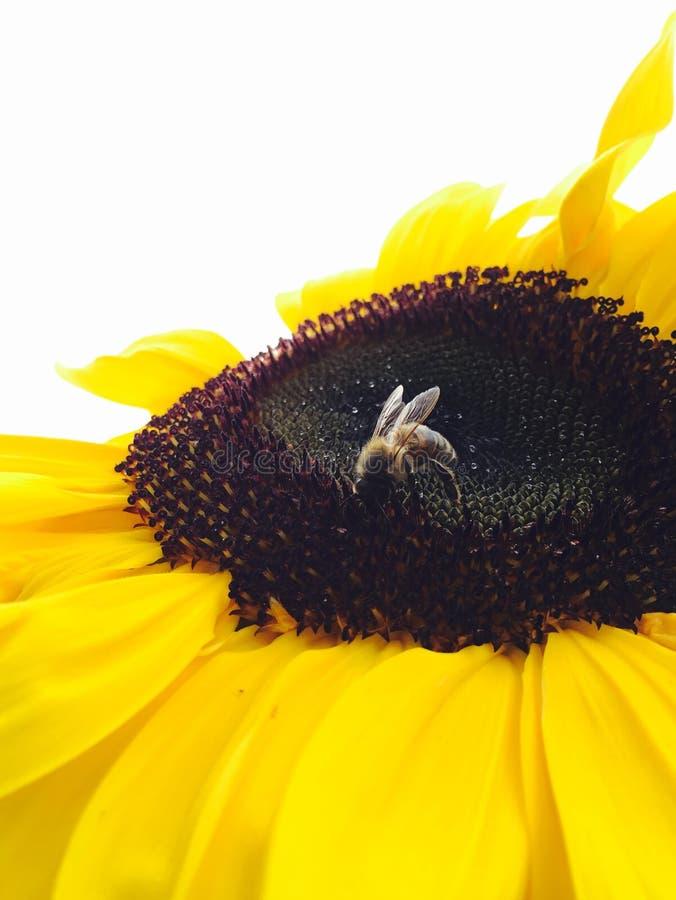 girasole di estate della natura dell'ape fotografie stock