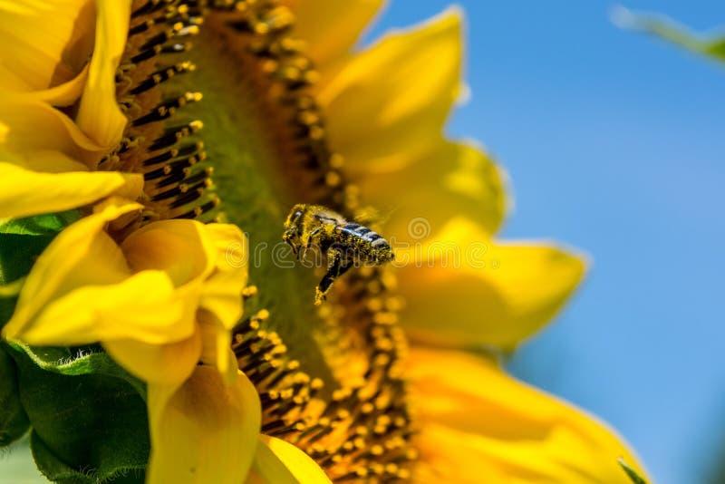 girasole di estate della natura dell'ape fotografia stock libera da diritti