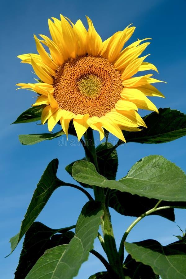girasole di fioritura fotografie stock libere da diritti