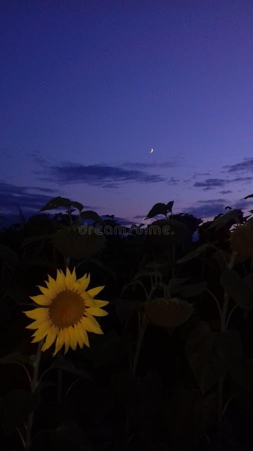 Girasole di notte fotografia stock