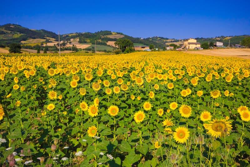 Download Girasole Ed Altre Zone Agricole Nella Distanza Immagine Stock - Immagine di scenico, distante: 56892389