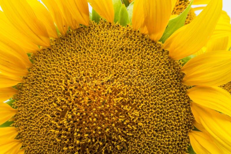 girasole giallo fotografie stock libere da diritti