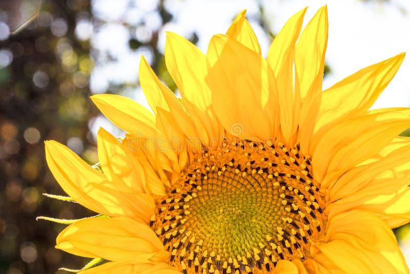 girasole giallo Girasoli al sole fotografia stock libera da diritti