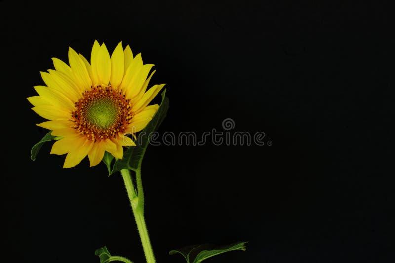 Girasole giallo luminoso su un fondo nero Concetto simbolico - estate, sole, umore, fondo di congratulazioni di resto al complean fotografie stock