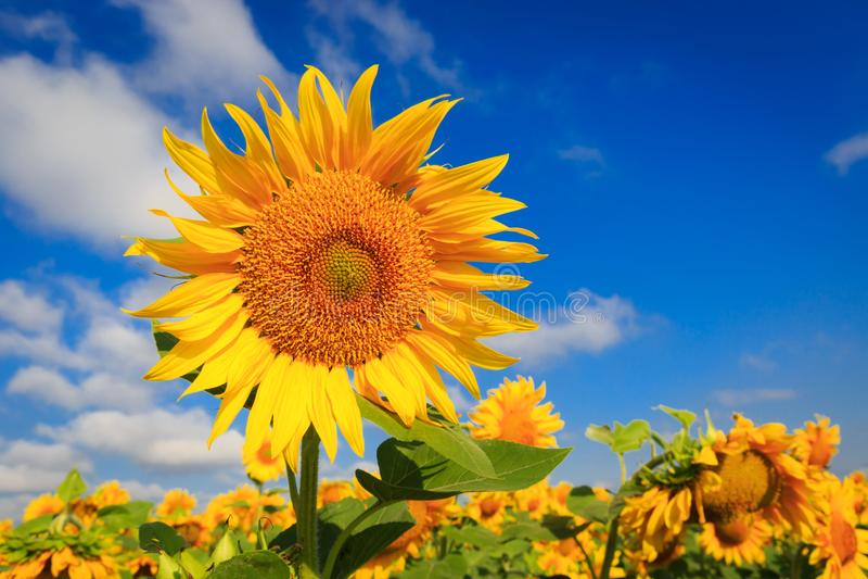 Girasole giallo sul campo di azienda agricola fotografia stock libera da diritti