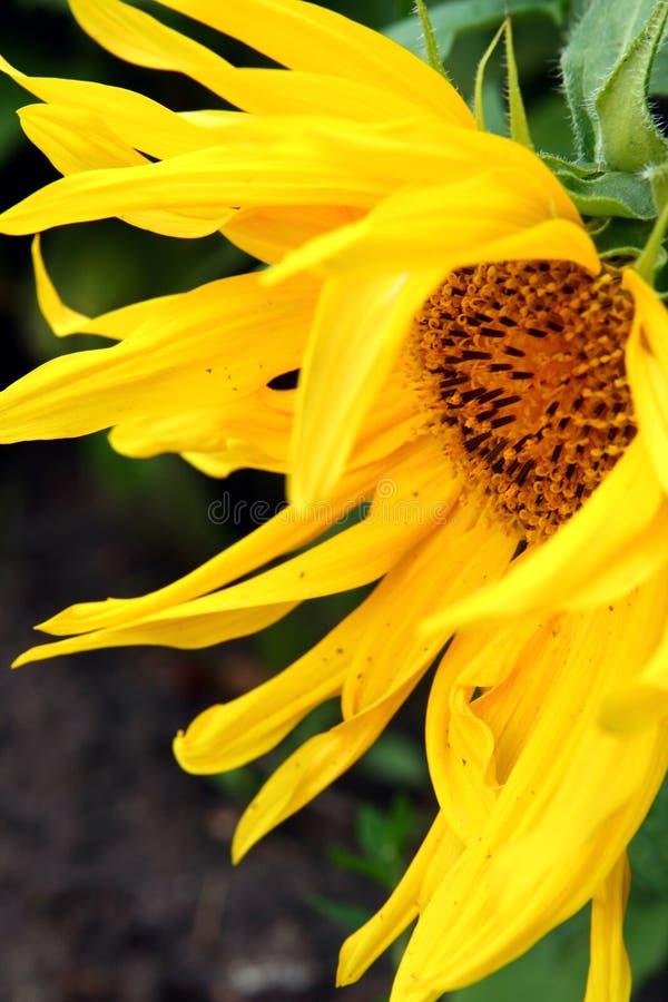 Girasole in giardino fotografia stock libera da diritti