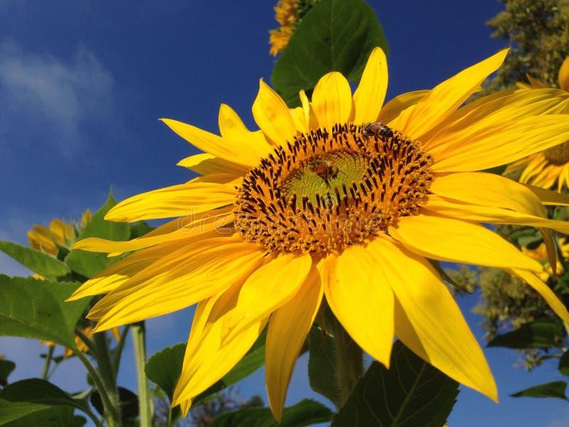 Girasole Honey Bee Closeup fotografie stock libere da diritti