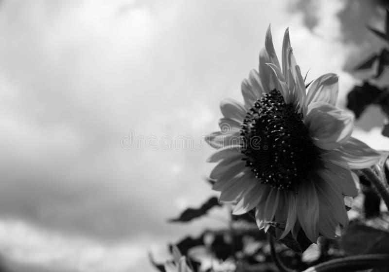 Girasole isolato in bianco e nero Sideview fotografie stock
