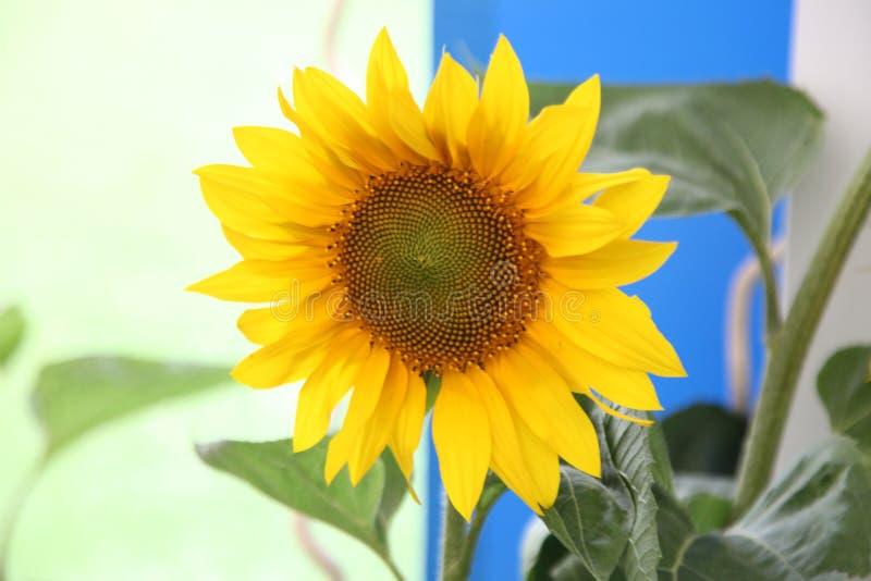 girasole, sole del fiore, helianthus annuus, i semi fotografie stock