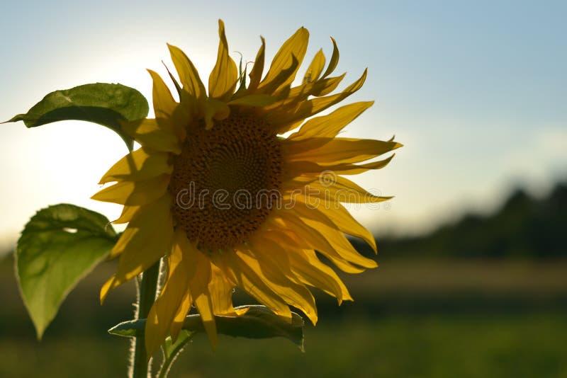Girasole su un bello sfondo naturale fotografie stock libere da diritti