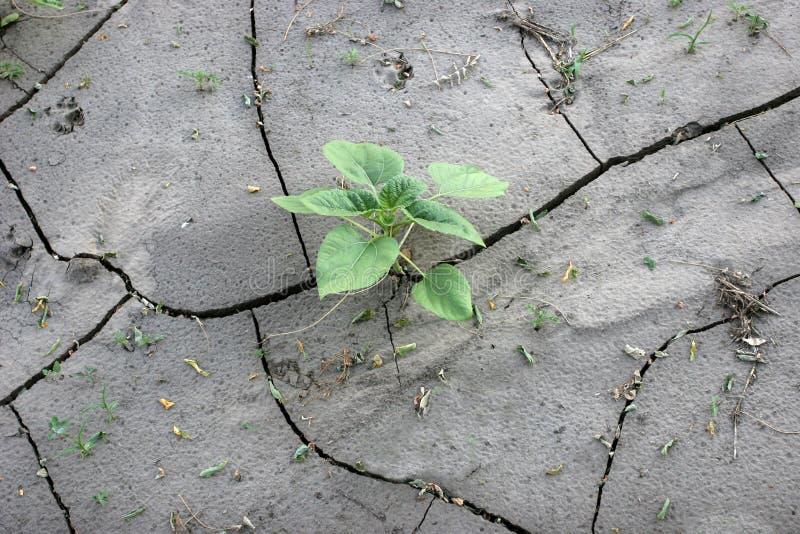 Girasole verde del germoglio su terra incrinata fotografie stock libere da diritti