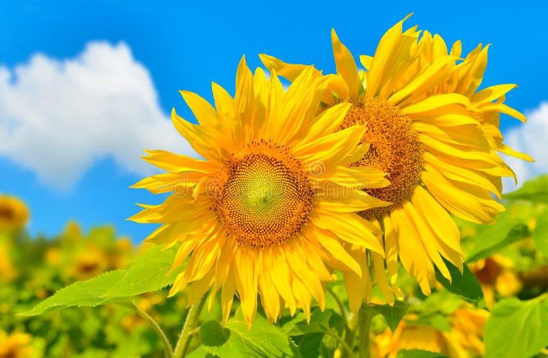 Download Girasoles imagen de archivo. Imagen de país, rural, girasol - 42440457