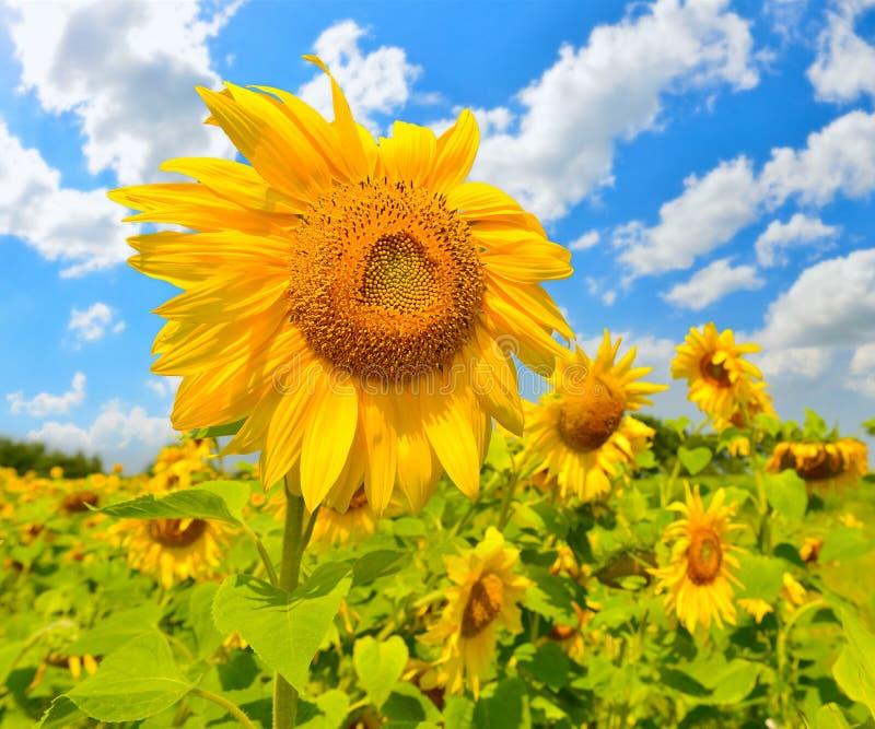 Download Girasoles imagen de archivo. Imagen de cielo, wildflower - 42440521