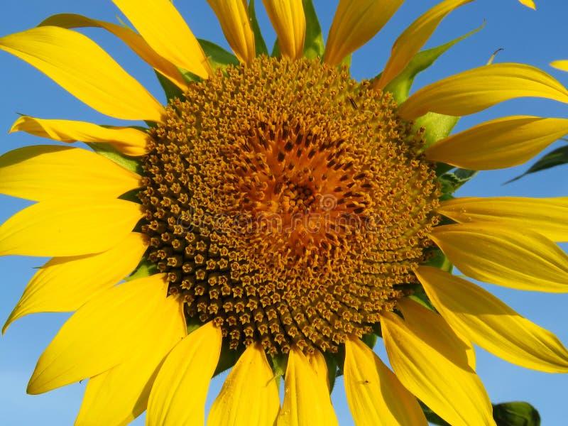 girasoles altos del verano anaranjado Sun-rico G?rmenes de girasol Fondo del girasol amarillo y del cielo azul imagen de archivo libre de regalías