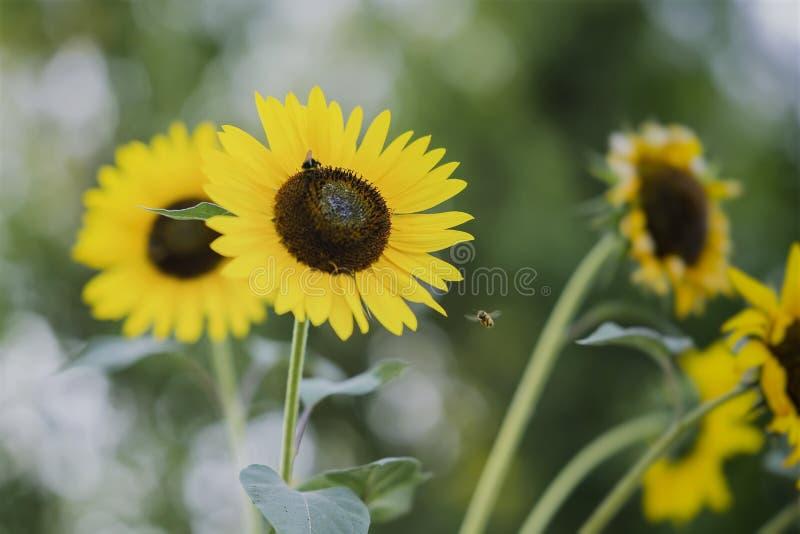 Girasoles amarillos de oro decorativos en el campo con las abejas, primer imagen de archivo