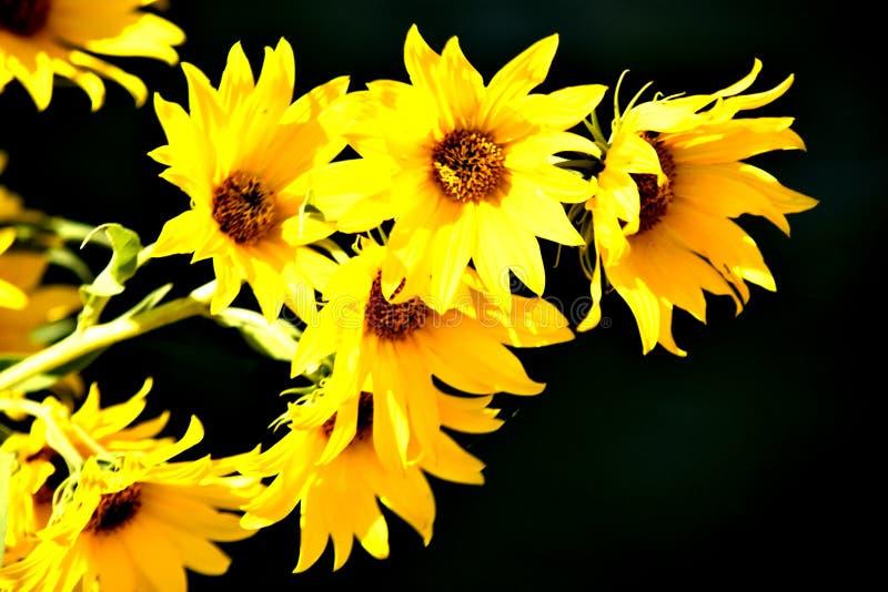 Girasoles amarillos en fondo negro fotos de archivo