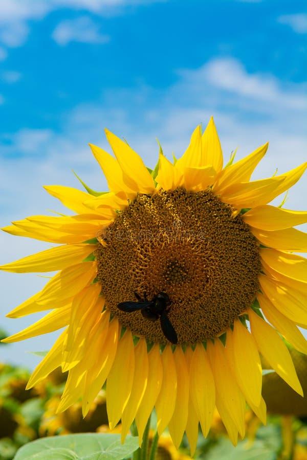 Girasoles amarillos grandes que crecen en campo con las semillas negras maduras fotos de archivo
