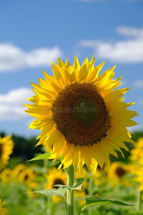 Girasoles amarillos hermosos fotos de archivo libres de regalías