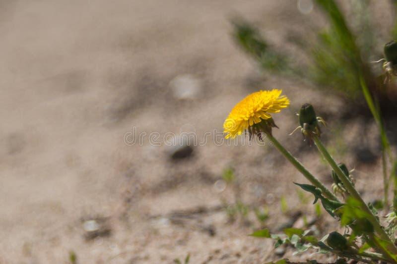Girasoles brillantes hermosos con las semillas en cierre de madera de la tabla para arriba fotos de archivo