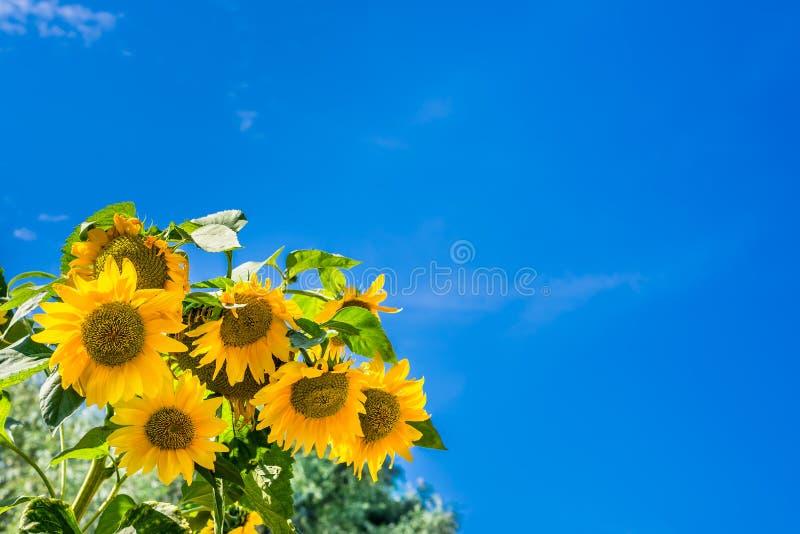 Girasoles contra un cielo azul claro foto de archivo