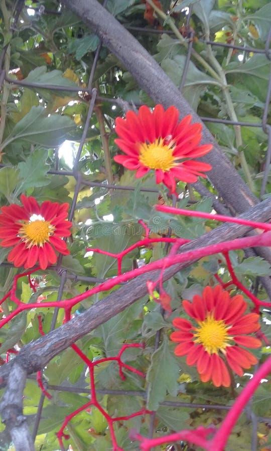 Girasoles de África das flores do Gazania imagem de stock