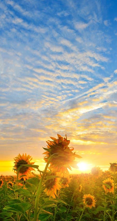 Download Girasoles de la mañana foto de archivo. Imagen de paisaje - 42440142
