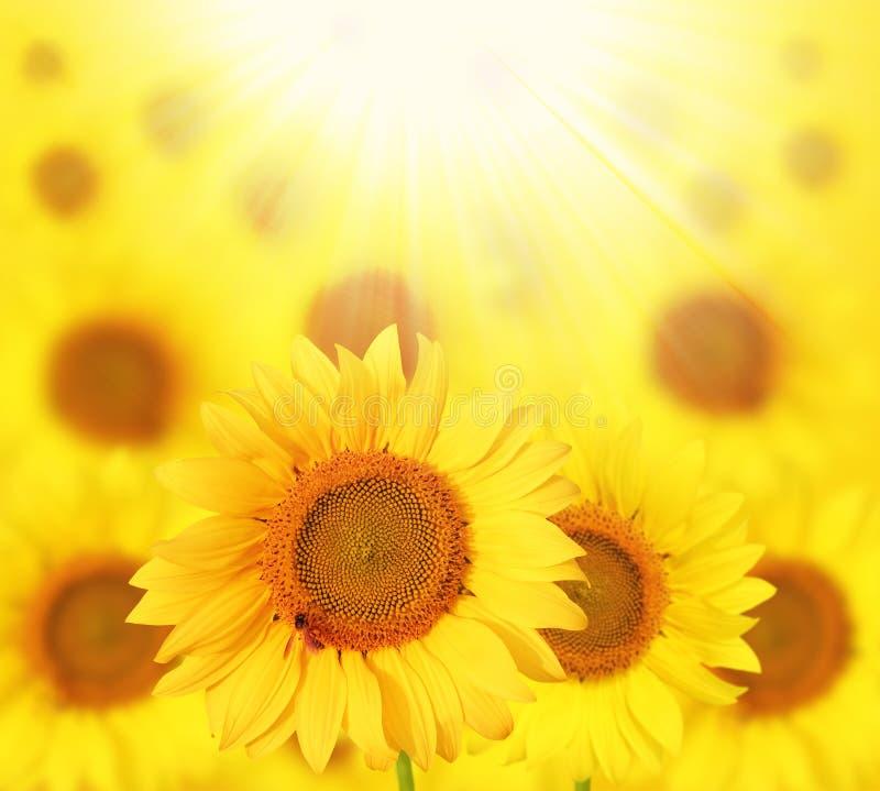 Girasoles de la plena floración puestos a contraluz por el sol en un jardín fotos de archivo libres de regalías