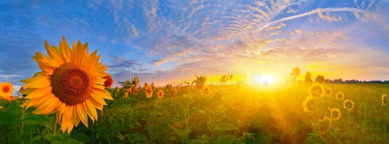 Download Girasoles De La Salida Del Sol Foto de archivo - Imagen de mañana, cierre: 42440336