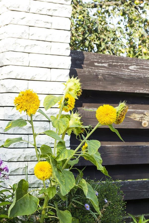 Girasoles decorativos amarillos cerca de la cerca de madera fotografía de archivo