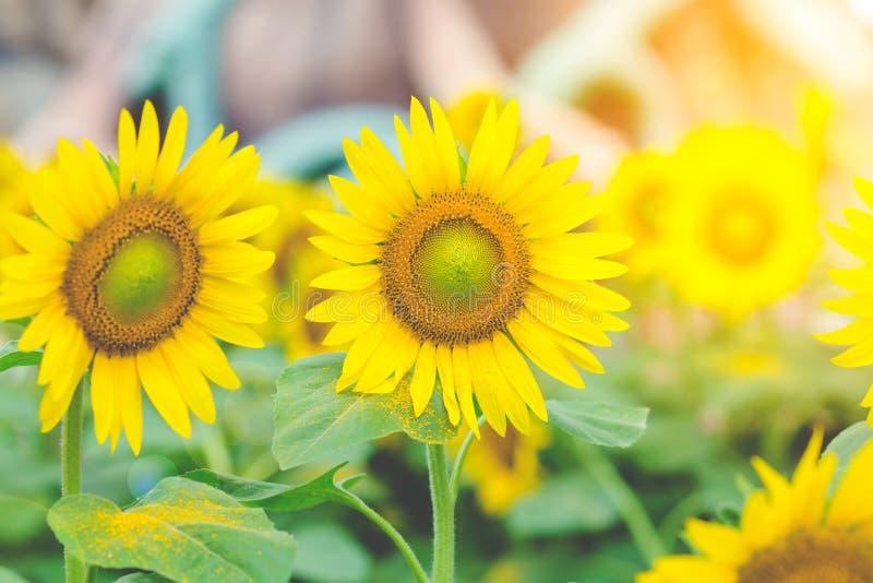 Girasoles en el campo con luz del sol por la mañana foto de archivo libre de regalías